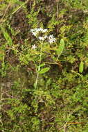 Image of rose gentian