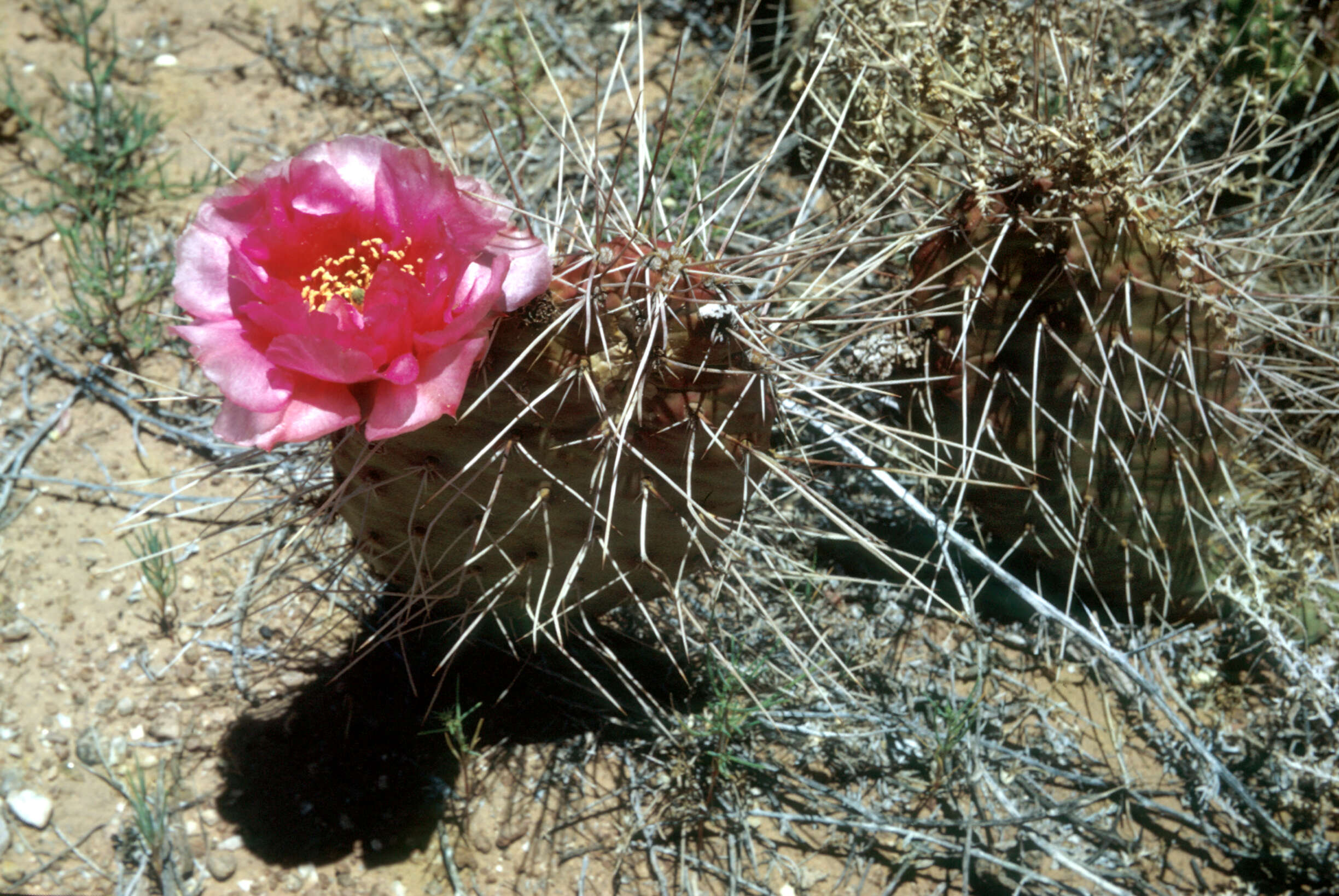Image of Panhandle Prickly-pear