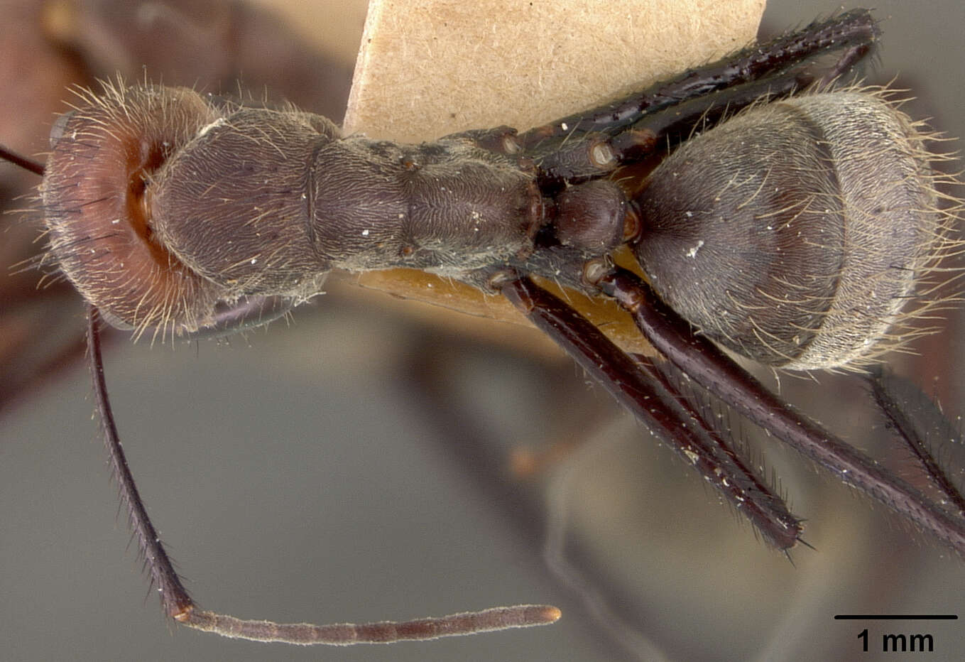 Image of Yellowjackets and Hornets, Paper Wasps; Potter, Mason and Pollen Wasps and allies