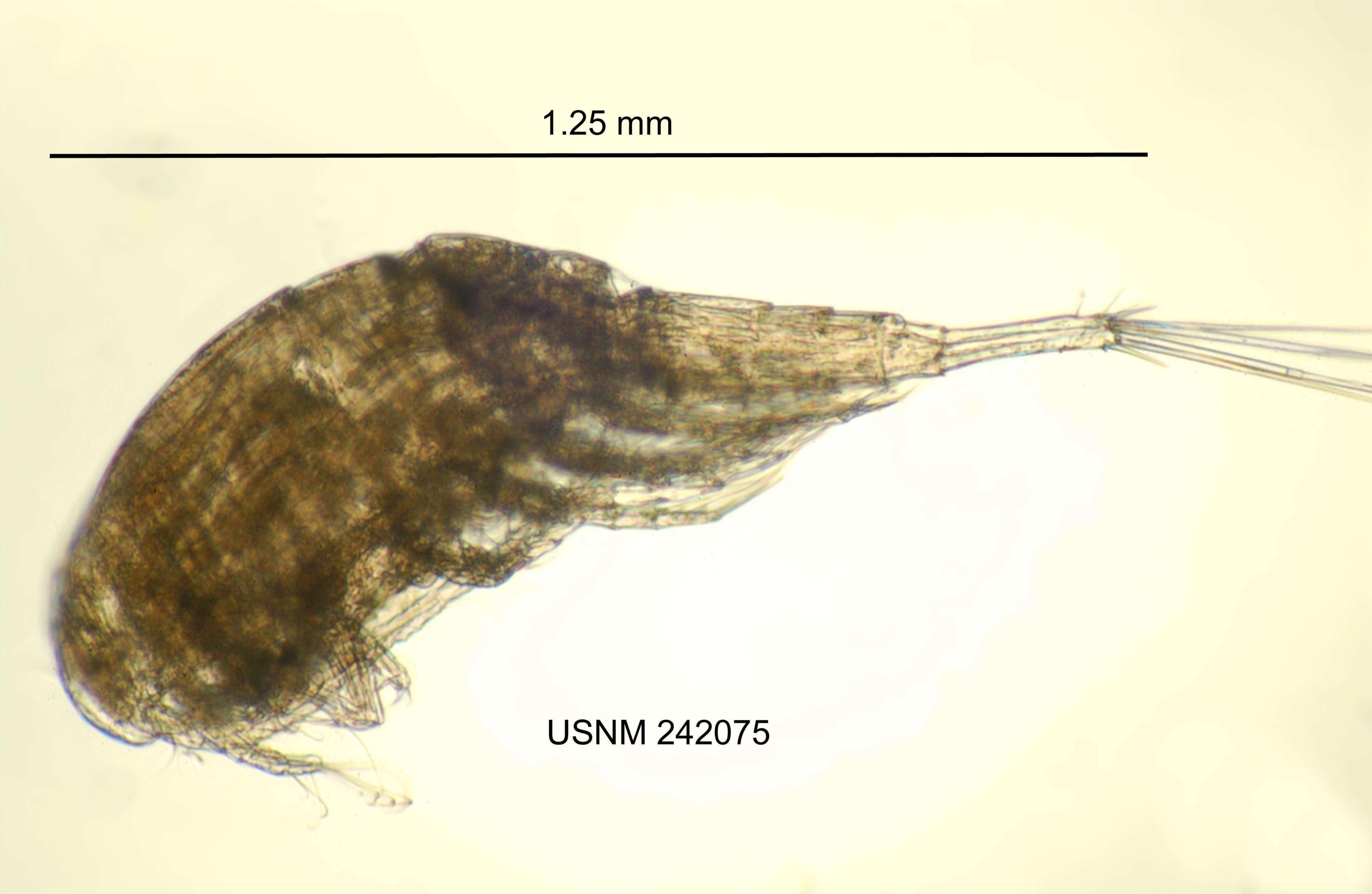 Image of Neocopepoda Huys & Boxshall 1991