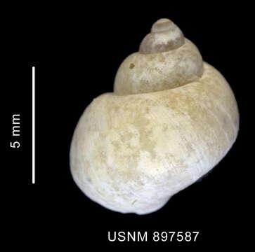Image of Littorinimorpha