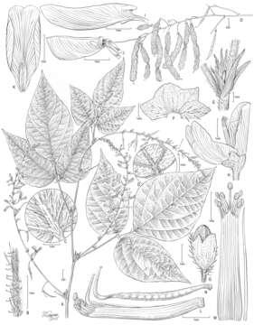 Image of Pseudarthria