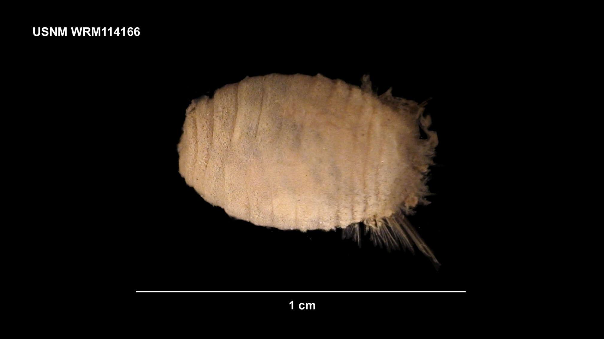 Image of Cirratuliformia