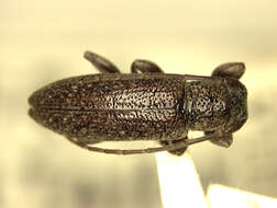 Image of Mycerinopsis