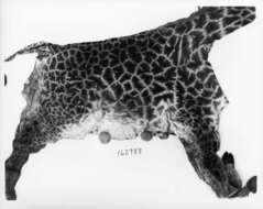 Image of Laurasiatheria