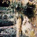 Image of <i>Nothofagus cunninghamii</i> (Hook.) Oerst.