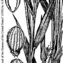 صورة <i>Panicum portoricense</i> Desv. ex Ham.