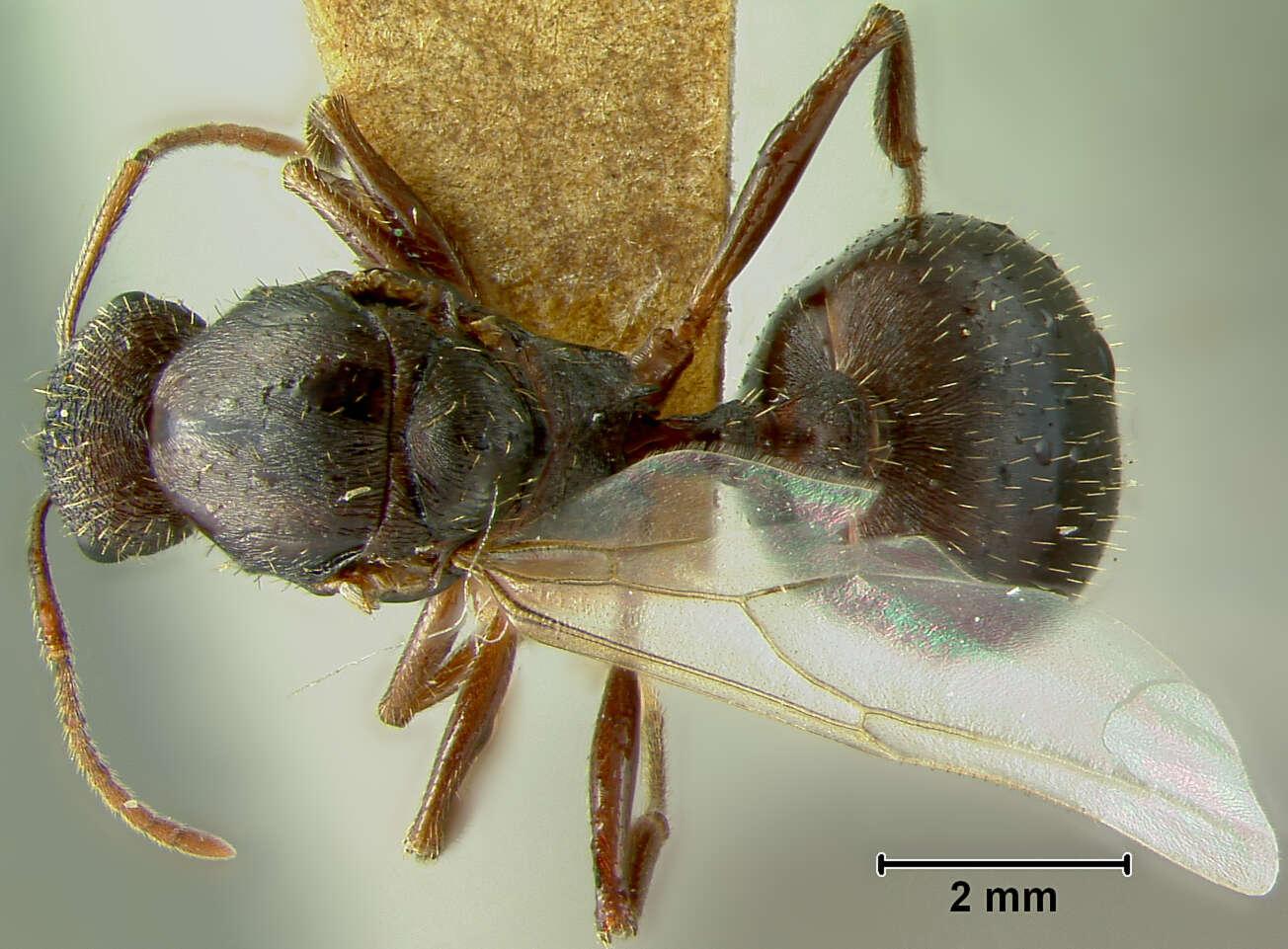 Image of Aphaenogaster