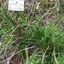 Image of <i>Xerophyta viscosa</i> Baker