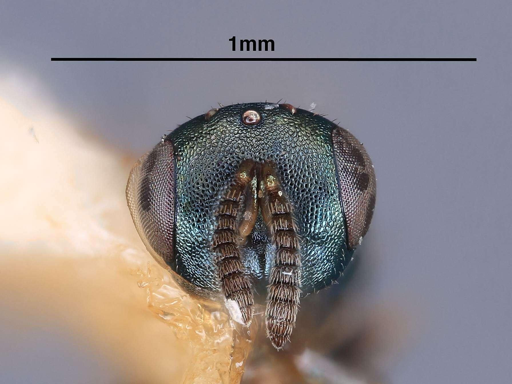 Image of pteromalids