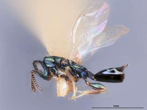 Image of Syntomopus