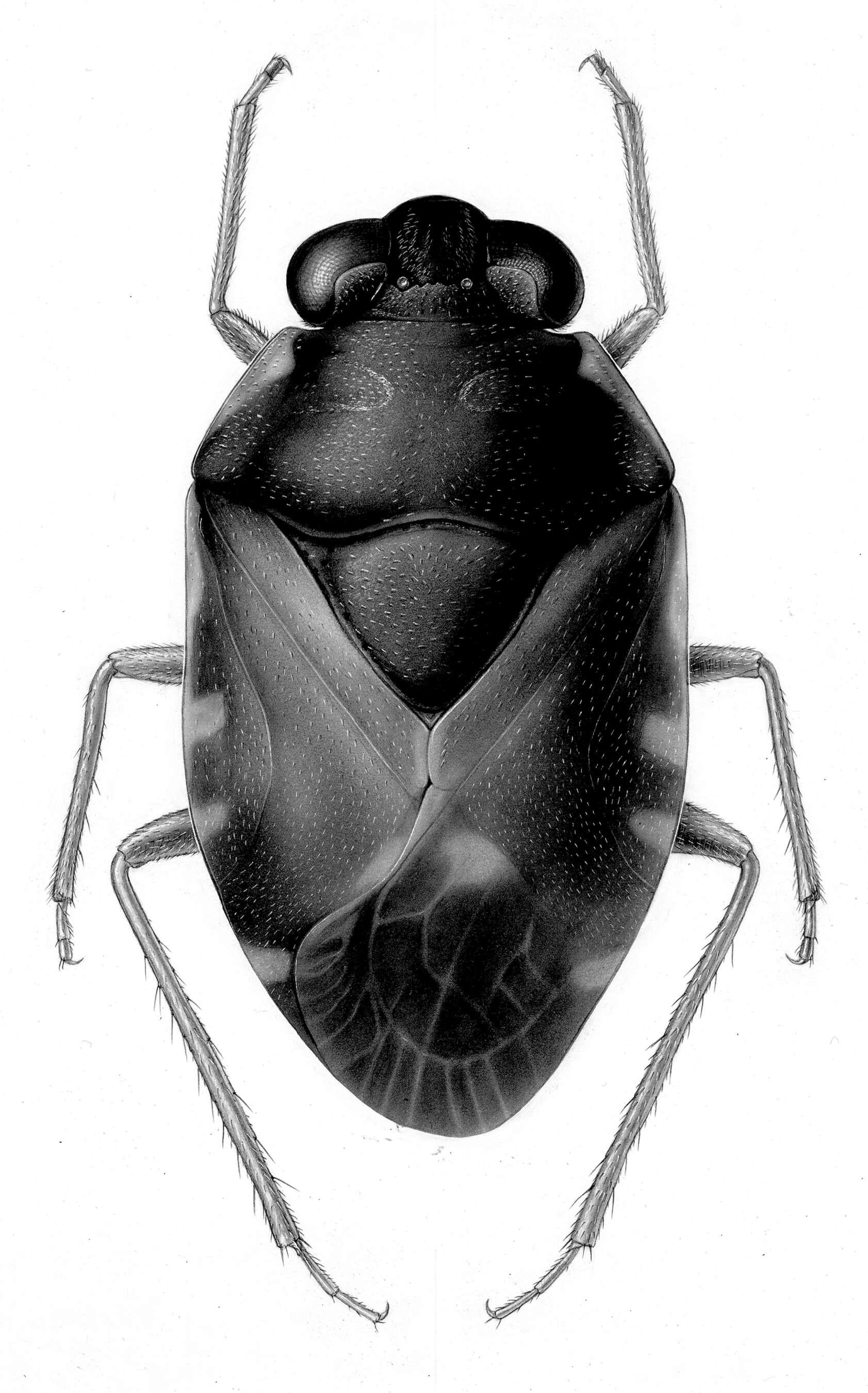 Image of true bugs
