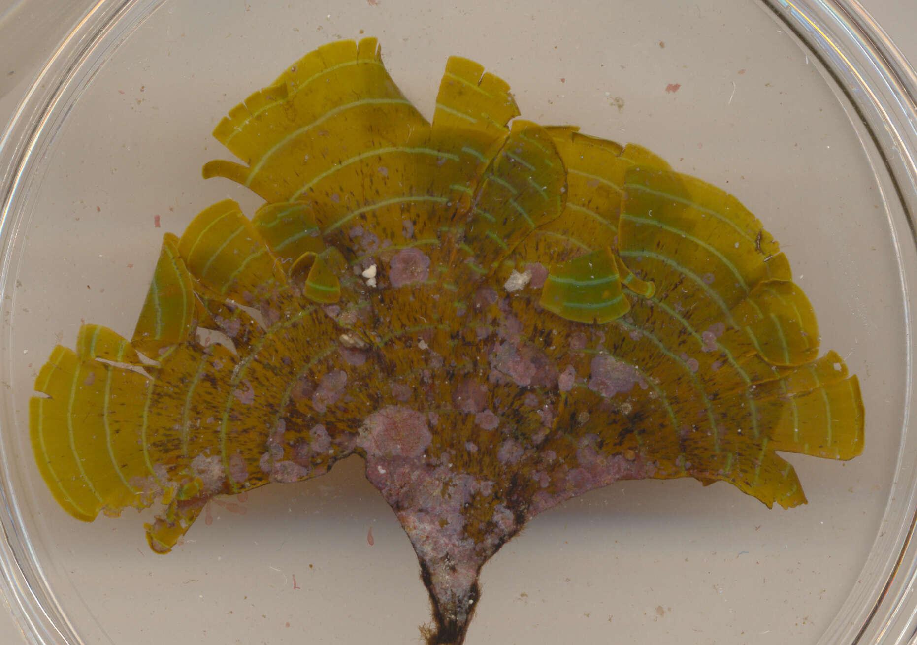 Image of SAR (Stramenopiles, Alveolates, Rhizaria)