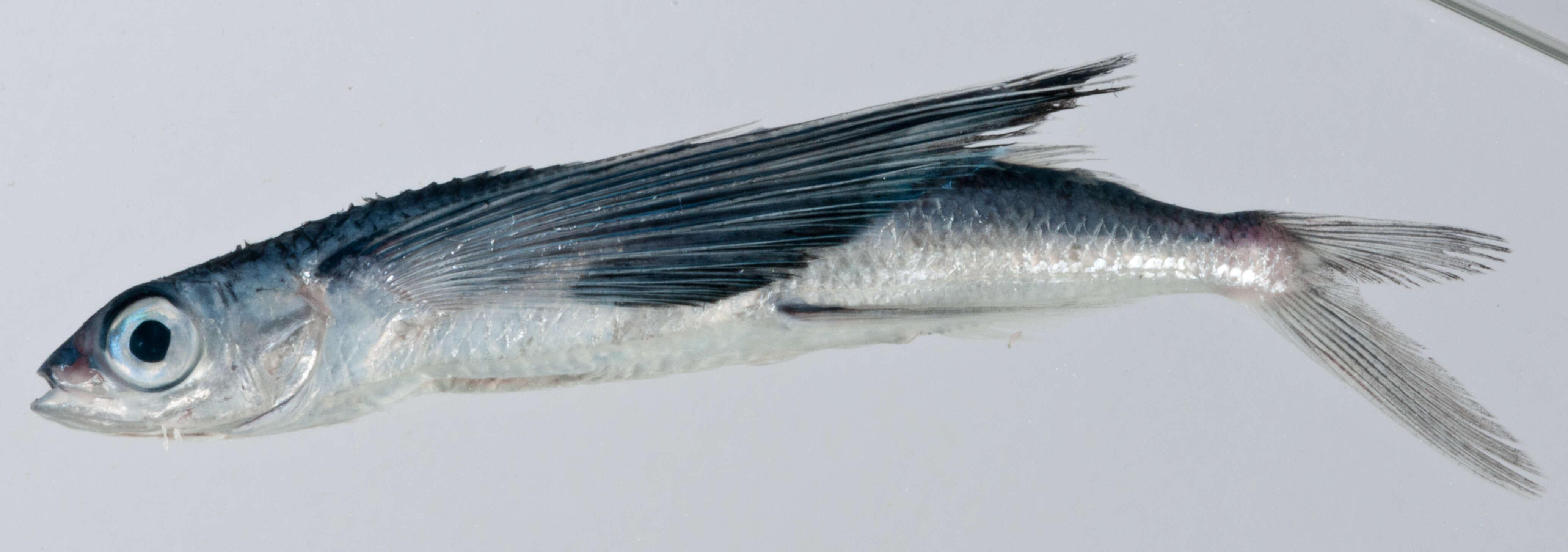 Image of Hirundichthys