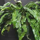 Image of Tailed Strap Fern