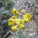 Image of Arizona rubberweed