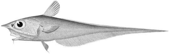 Image of Gadiformes
