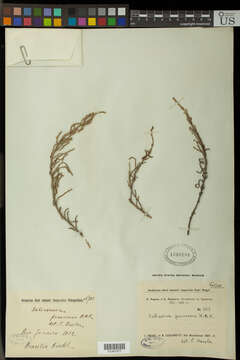 Image of pigweed