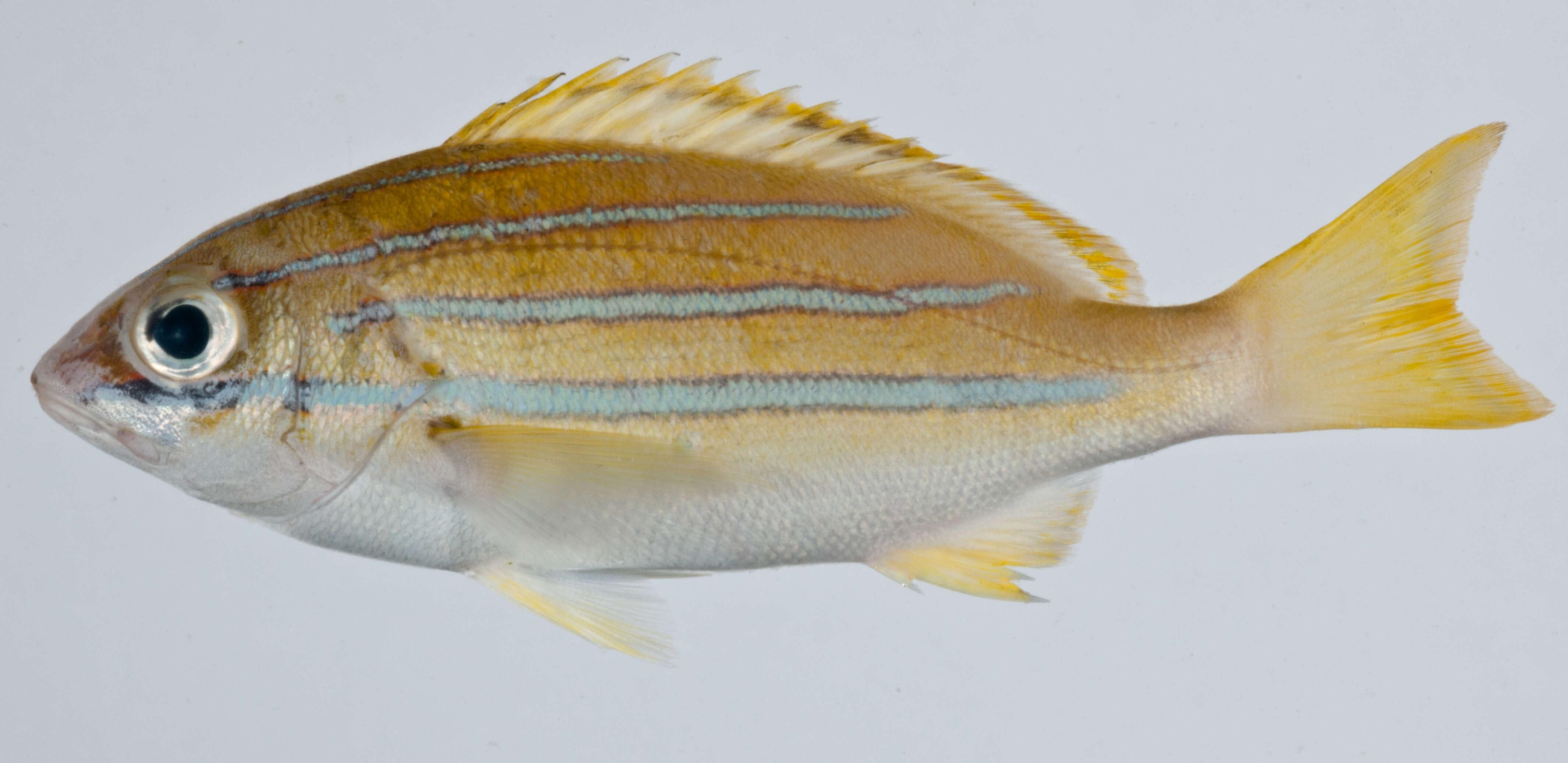 Image of Lutjaniformes