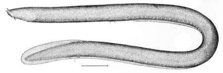 Image of Myxini