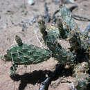 Image of El Paso pricklypear