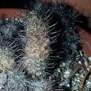 Image of Thornber's nipple cactus