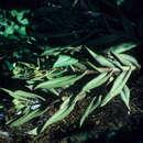 Image of <i>Epidendrum spicatum</i> Hook. fil.