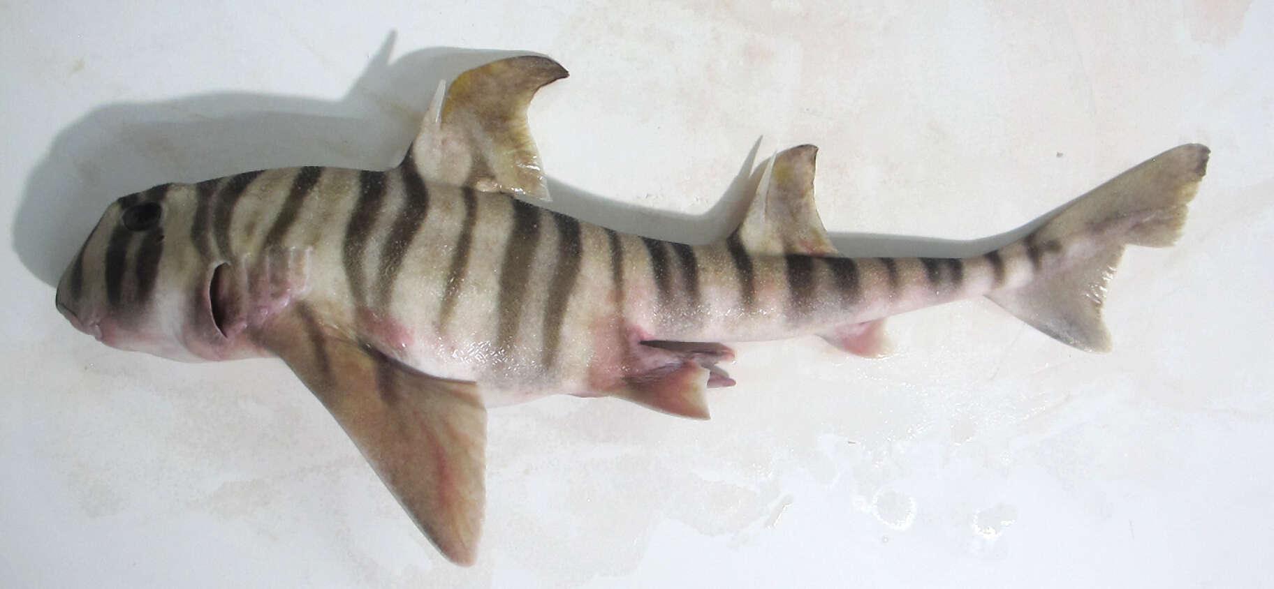 Image of Heterodontiformes