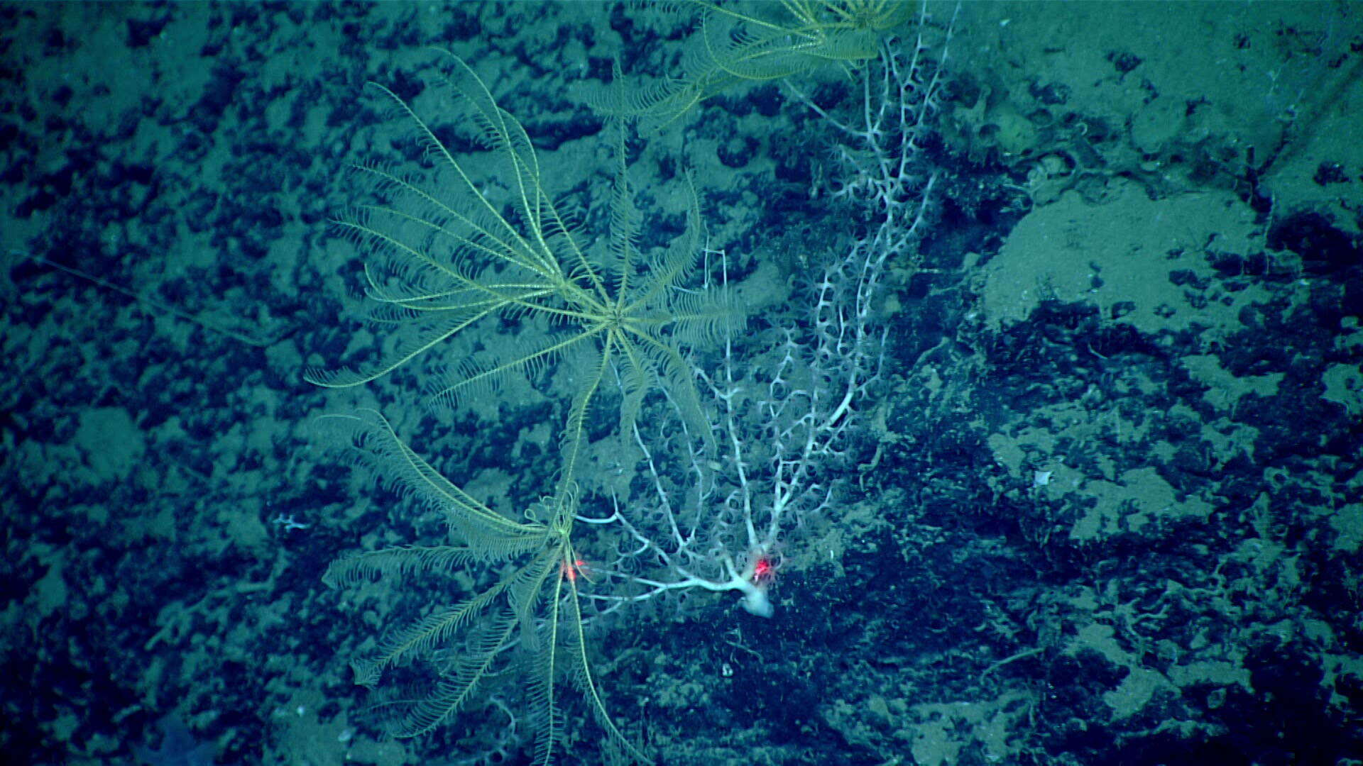 Image of crinoids and relatives