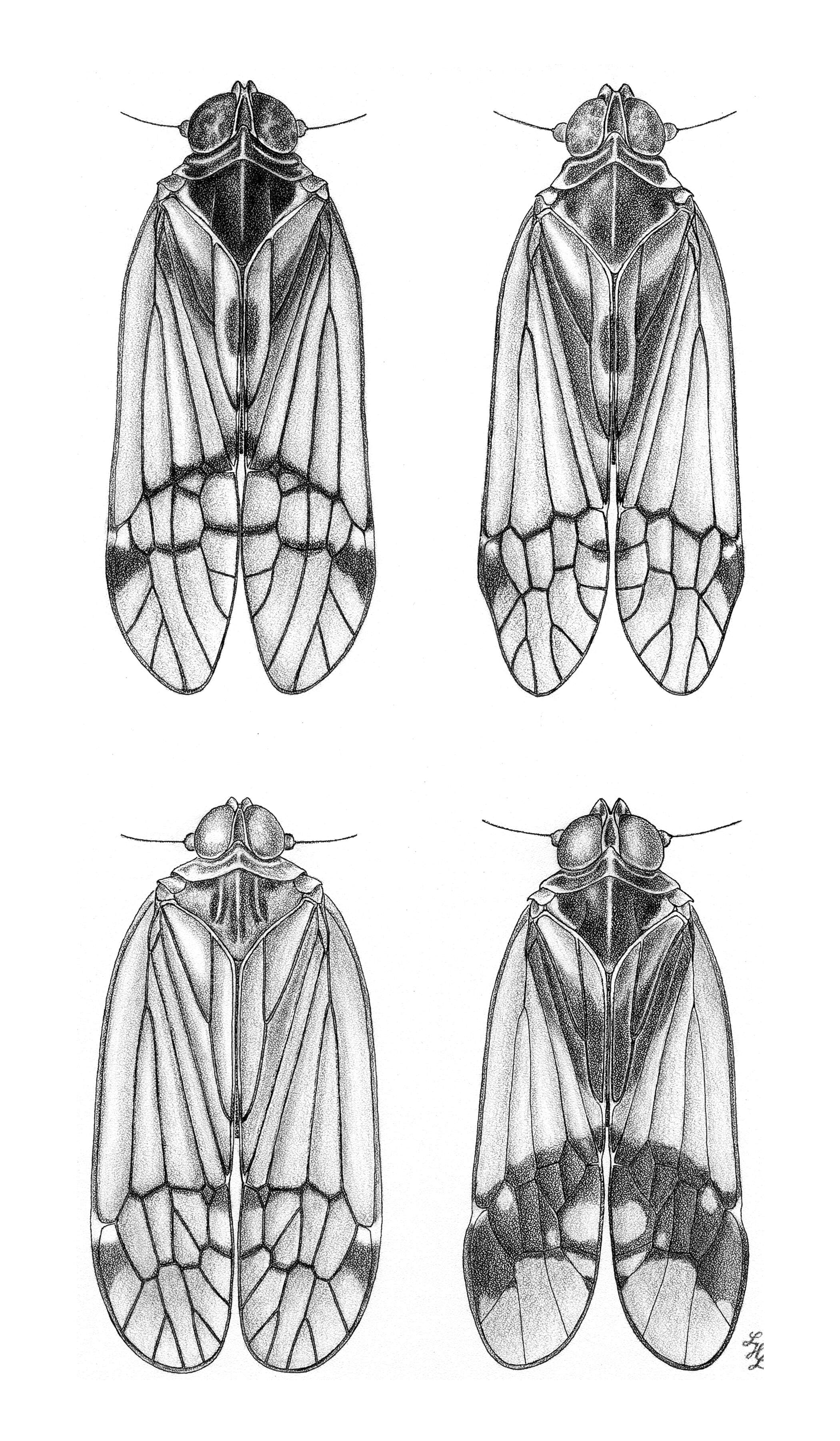Image of planthoppers