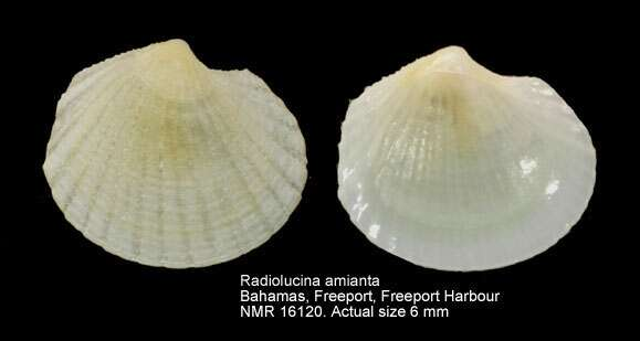 Image of Radiolucina
